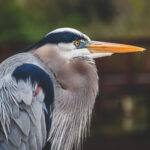 An Ode to My Sister, the Great Blue Heron